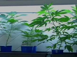 11 pot grows busted in 1 month in Pueblo County