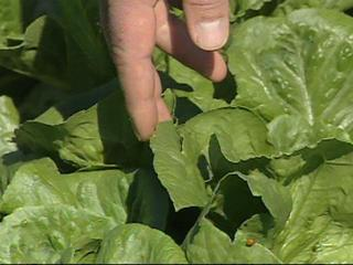 salad-lettuce-farm-spinach-colorado-grown-farming-14145407.jpg