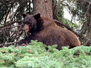 Generic-Bear-In-Tree-31382234.jpg