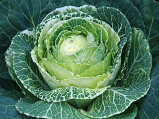 cabbage green leafy vegetable_1359475933568-10946.jpg
