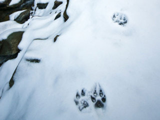 dog-paw-print-in-snow_1360332908902-10946.jpg