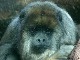Rose, a Denver Zoo howler monkey