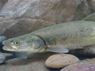 Delay removing colorado pikeminnow fish from endangered for Colorado fish species