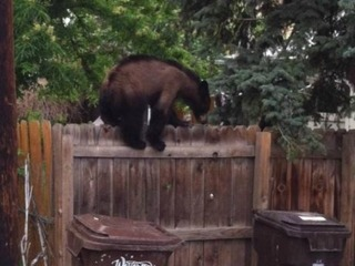 Bear killed after entering Boulder homes