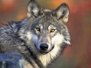 Expect wolves in Colorado, state officials say