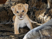 'Liliger' cubs play in Russian zoo