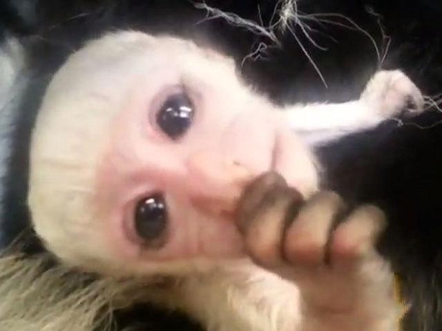 Newborn Baby Monkeys Image Mag : NewBabyMonkey13923368457472887120ver10640480 from imagemag.ru size 640 x 480 jpeg 35kB