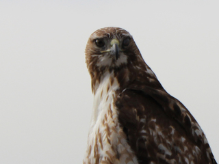 Hawk hangs out in the 7NEWS parking lot
