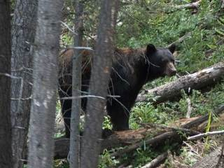 Bears coming out of hibernation early in Colo.