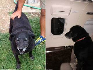 Old Lab that walked 30 miles back home adopted