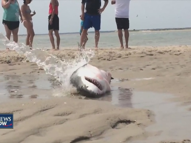 People help great white shark that washed up on Cape Cod ...