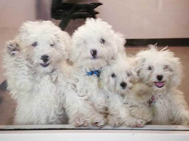 how to become dog breeder quebec