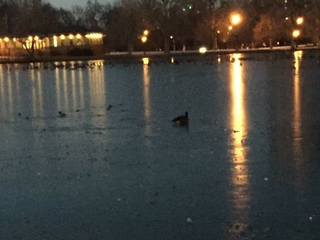 VIDEO: Goose frozen to ice in Wash Park rescued
