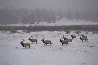 Elk love Rocky Mountain National Park snow