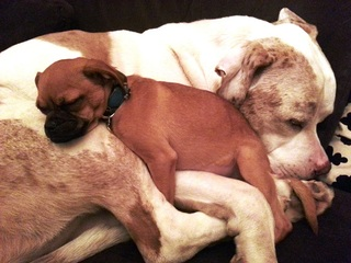 American Bulldog mix helps foster dogs find love