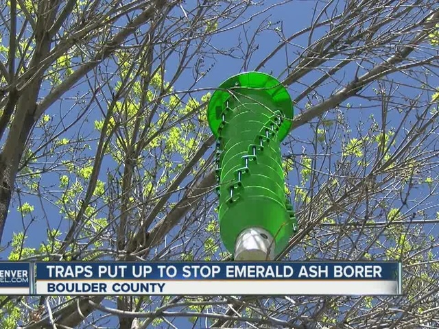 State forest service setting bug traps to track emerald ash borer…