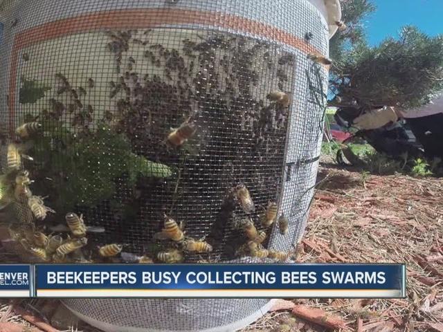 Bee swarming season keeps beekeepers buzzing around the Denver metro area