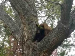 VIDEO: Bear hanging out in tree in Boulder