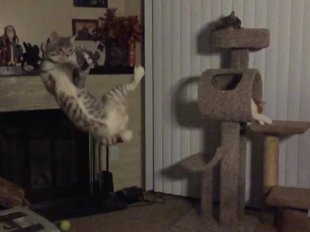 MUST SEE VIDEO: Boots the cat's high flying jump