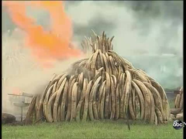 Kenya burns huge pile of ivory tusks to protest poaching.
