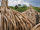 Kenya burns ivory tusks to protest poaching