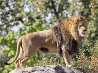 Denver Zoo loses leader of African lion pride
