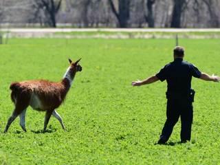 #LlamaDrama after llama escapes pasture