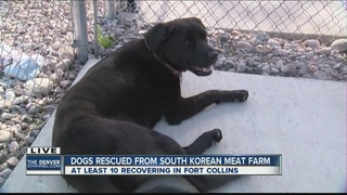 Dogs rescued from South Korea meat farm