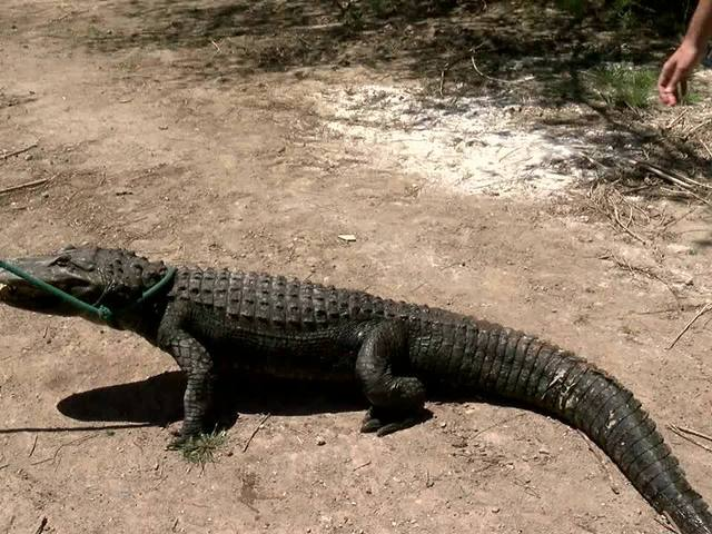 Alligator wrestling? You can do that in Colorado - to help reptiles who…