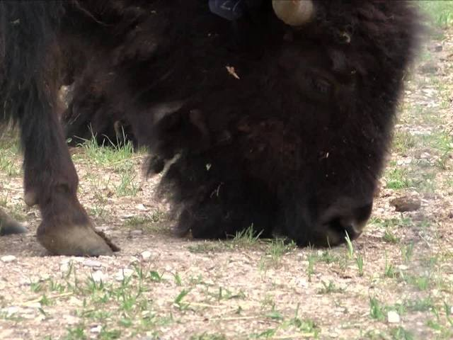 Laramie Foothills welcomes baby bison