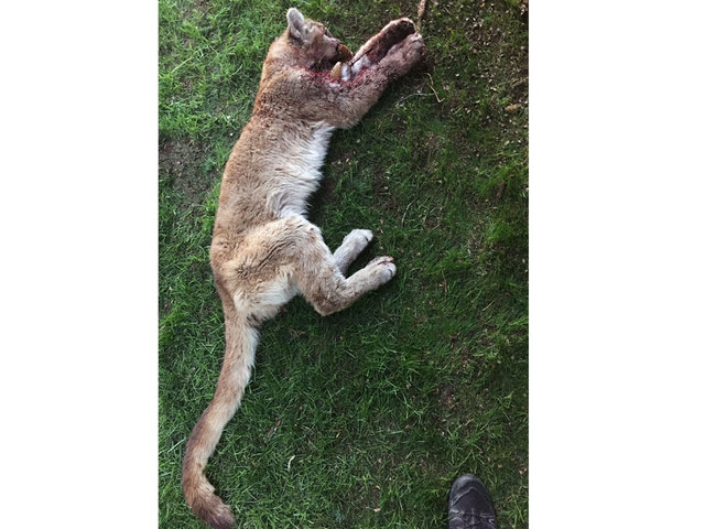 Family: Victim of mountain lion attack 'doing better'