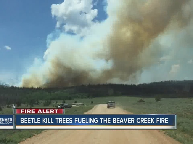 Mountain Pine Beetle fueling the Beaver Creek FIre