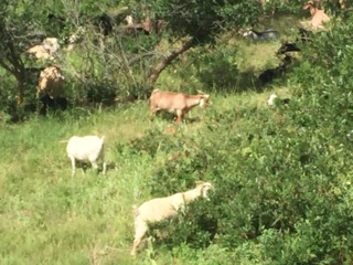Goats help with fire mitigation near homes