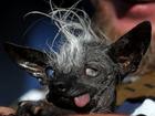 Meet Sweepee Rambo, the 'World's Ugliest Dog'