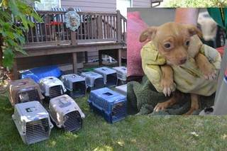 63 Chihuahuas rescued from home