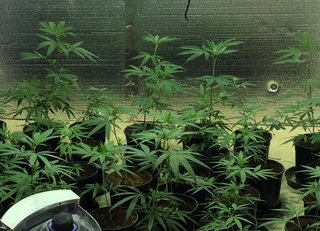 2 arrested after 160 pot plants found in 2 homes