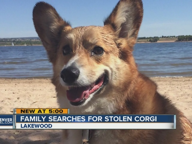 Owners offer $200 reward for return of Welsh Corgi that was stolen along…