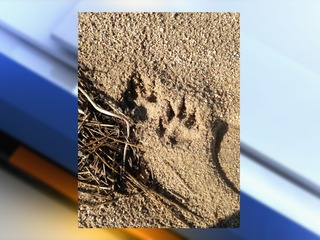Mountain lion tracks spotted in Arapahoe Co.