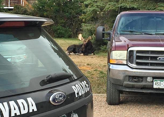 Moose on the loose searches for love in Arvada