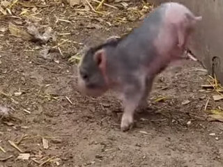 Colorado pig defies nature, thrives on 2 legs
