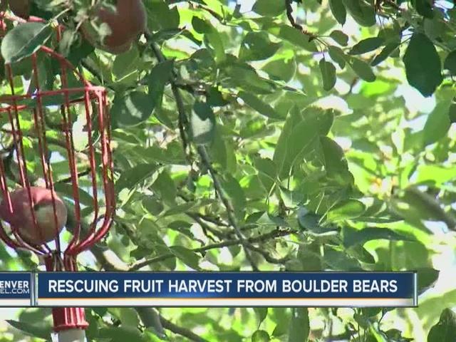 Fruit tree harvest amid bear season