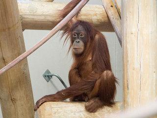 Zoo's new orangutan has already met new mate