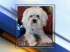 Family: Beloved Yorkie-poo killed by pellet gun
