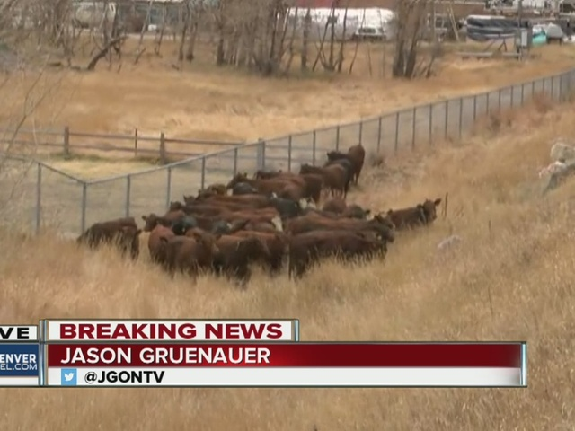 Cattle hauler rolls on I-70 near Georgetown