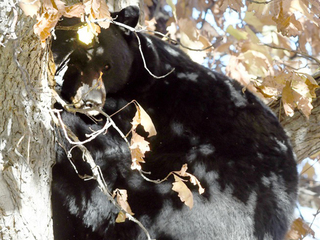 Bear takes a nap in tree in the city of Boulder