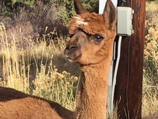Abandoned Boulder Co. alpaca in need of surgery