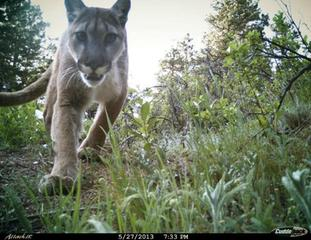 Watch out: Mountain lion sightings in Longmont