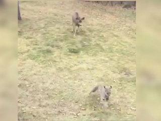 'Bambi' chases bobcat; Bobcat escapes