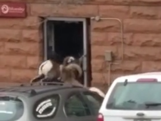 Bighorn sheep takes down door like a boss