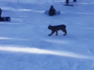 Lynx found at ski resort died of natural causes